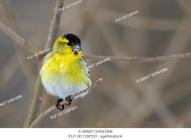 Eurasian siskin / European siskin / common siskin, (Spinus spinus) male with fluffed up feathers perched in tree in winter