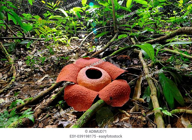 blooming rafflesia anoldi with perfect ecological system in borneo