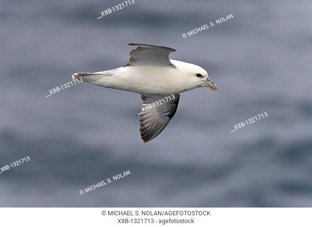 Northern fulmar Fulmarus glacialis on the wing in the Barents Sea south of Bear Island Bj¯rn¯ya just off the continental shelf