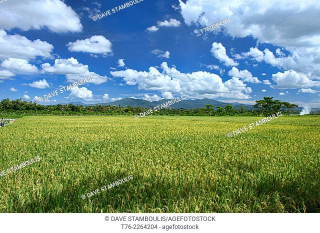 rice fields in rural East Java, Indonesia