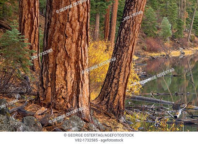 Clear Lake with Ponderosa pine Pinus ponderosa, South Warner Wilderness, Modoc National Forest, California