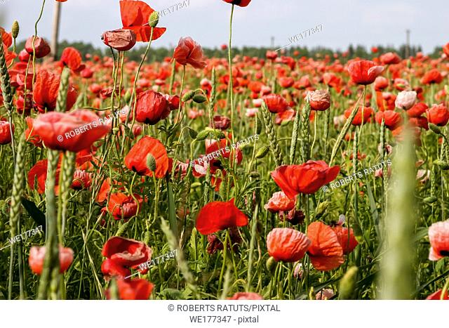 Red blooming poppy flowers on a green grass. Garden with poppy flowers. Nature field flowers in meadow. Landscape of blooming red poppy flowers on summer wild...