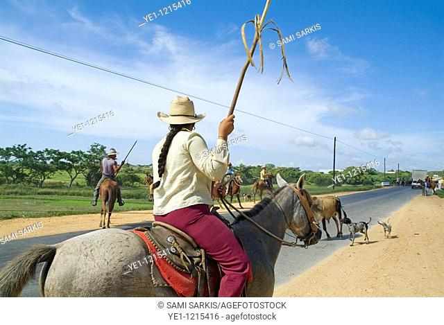 Cowboys herding cattle in the middle of a rural road in Cuba