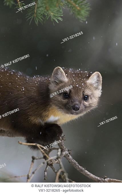 Pine Marten / Baummarder / Fichtenmarder ( Martes americana ) in winter, close-up of a curious young animal climbing in a tree, Yellowstone NP, USA.