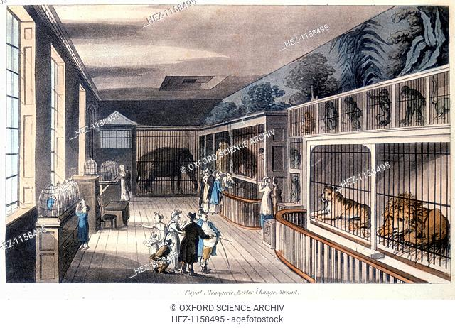 'Royal Menagerie, Exeter Change, Strand, London', c1820. Edward Cross kept his menagerie here until Exeter Change was demolished in 1829 and he moved it to the...