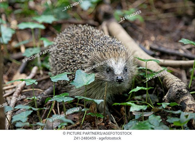 European Hedgehog sniffing around in the woods