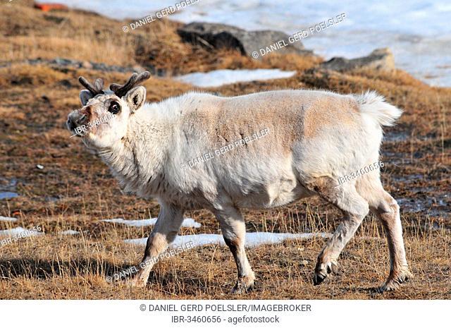 Svalbard Reindeer (Rangifer tarandus platyrhynchus), Spitsbergen, Svalbard Archipelago, Norway
