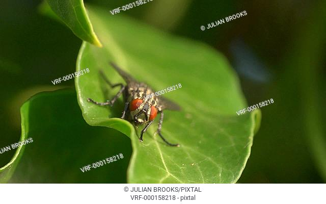 extreme close up of fly on ivy leaf