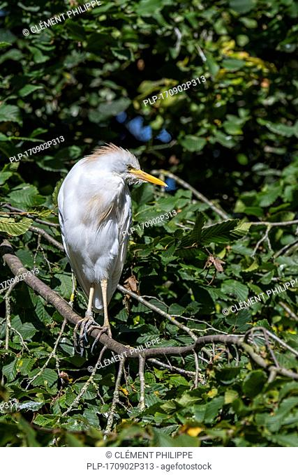 Cattle egret (Bubulcus ibis) perched in tree in summer