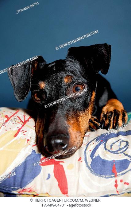 lying Manchester Terrier