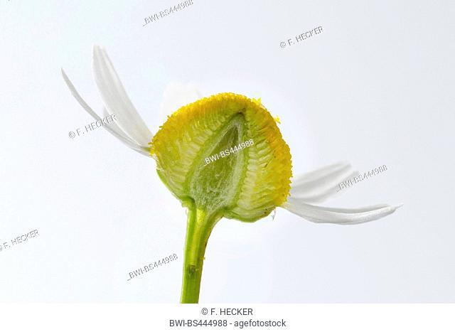 scented mayweed, german chamomile, german mayweed (Matricaria chamomilla, Matricaria recutita), hollow flower head, longitudinal cut, Germany