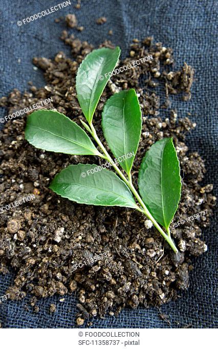 Tea leaves in soil