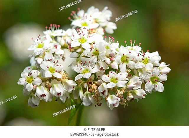 buckwheat (Fagopyrum esculentum), blooming, Germany