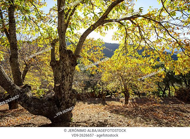Autumn leaves chestnut forest Igualeja, Genal valley, Serrania de Ronda. Malaga province, Andalusia Southern Spain