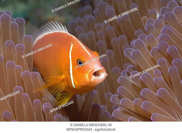 Pink Anemonefish, Amphiprion perideraion, Makogai, Lomaviti, Fiji