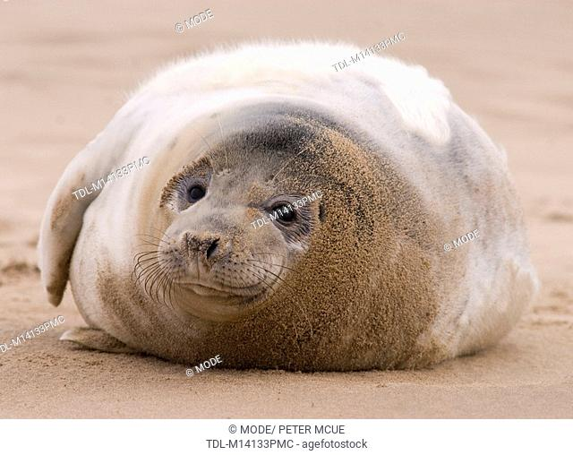 A grey seal pup