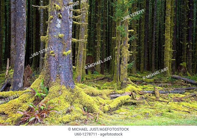 Sitka spruce, ferns and moss dominate the landscape at the Hoh Rain Forest at Olympic National Park, Washington