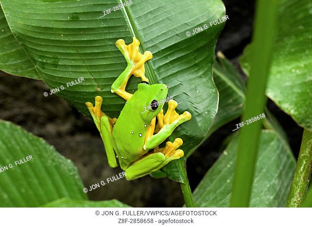 Parachuting or Flying Leaf Frog, Agalychnis spurelli, inhabits tropical rainforests from Costa Rica to Ecuador. It can glide up to 50 feet using its large...