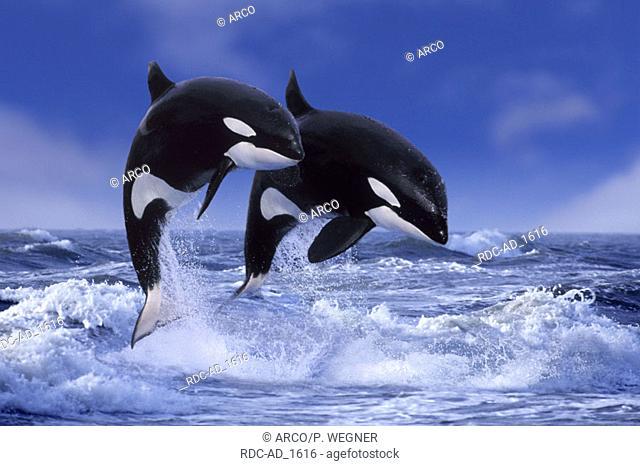 Orcas Orcinus orca