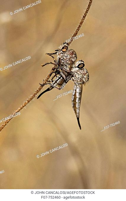 Robber fly (prob. Efferia spp.) feeding on robber fly. Family Asilidae. Arizona, USA. A widely distributed group of predatory flies which largely inhabit...