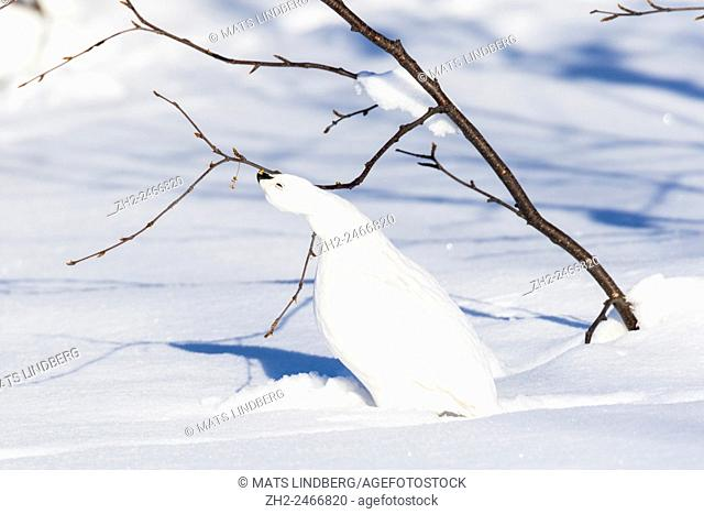 Willow grouse, Lagopus lagopus, in winter time eating from a birch bending his neck backwards standing in plenty of snow, sarek national park, Swedish Lapland