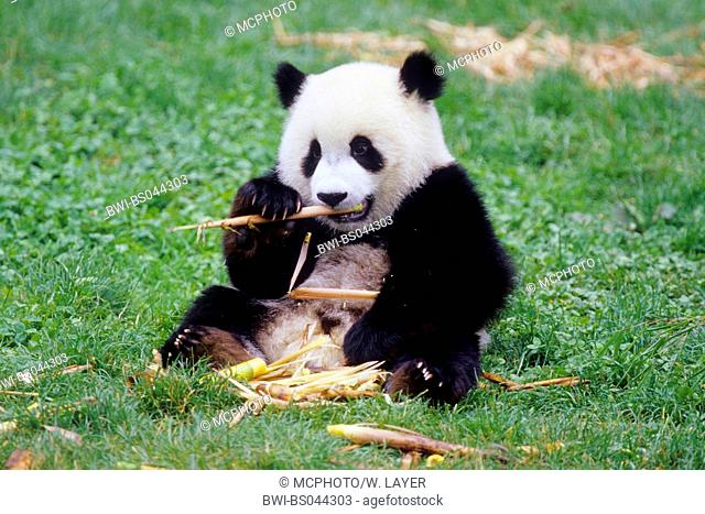 giant panda (Ailuropoda melanoleuca), eight months old panda feeding bamboo in the research station of Wolong, national animal of China, China, Sichuan, Wolong