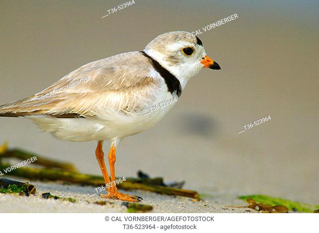 A Piping Plover (Charadrius melodus) looks out over Jones Beach Inlet at Jones Beach State Park on New York's Long Island