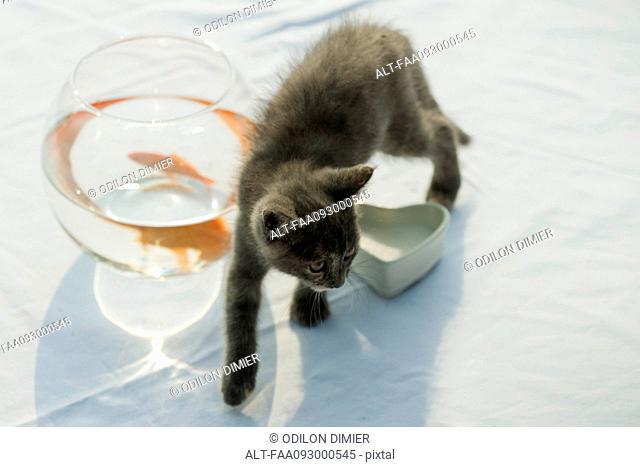 Kitten walking near goldfish bowl
