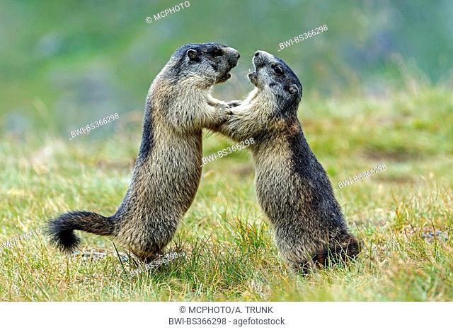 alpine marmot (Marmota marmota), two marmots fight, Austria