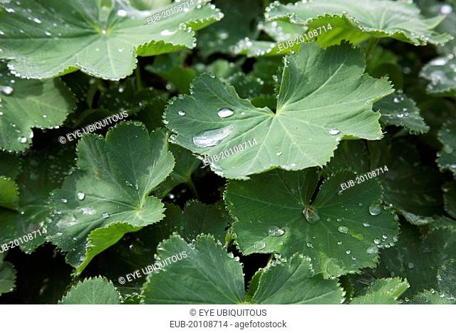 Rain drops on green coloured Ladys Mantle leaves Alchemilla Mollis