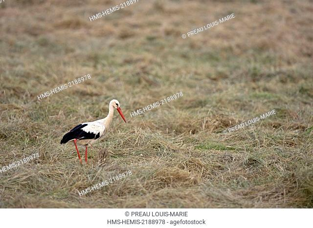 France, Vendee, Barre de Monts, White Stork (Ciconia ciconia)
