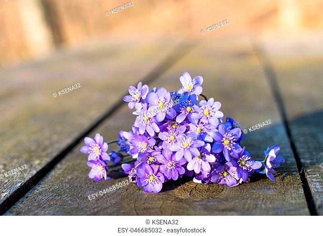 Hepatica nobilis on the wooden background