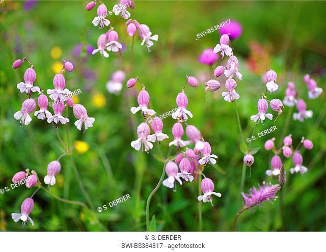 bladder campion, maiden's tears (Silene vulgaris), blooming, Austria, Tyrol, Lechtaler Alpen