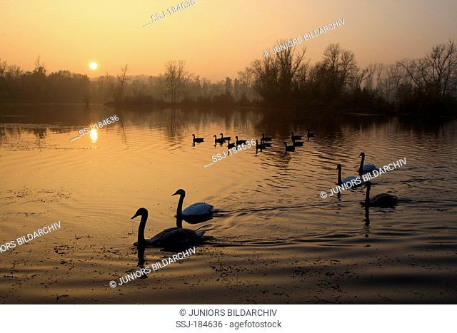 Mute Swans (Cygnus olor) and Canada Geese on an oxbow lake of the river Rhine in autumn. Germany