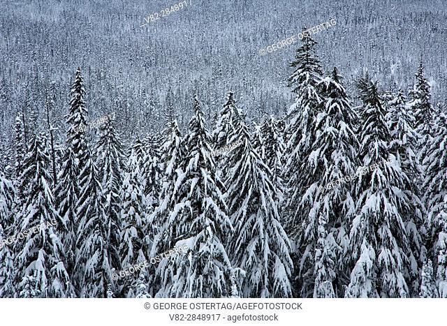 Forest below Willamette Pass, Willamette National Forest, Oregon