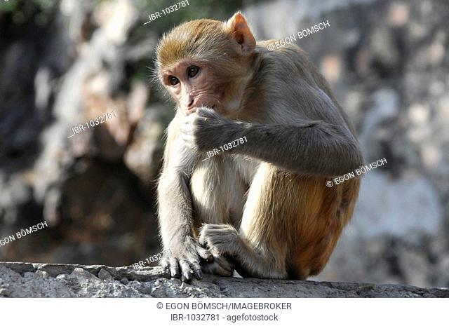 Rhesus macaque (Macaca mulatta) in the Galta Canyon, Jaipur, Rajasthan, North India, Asia