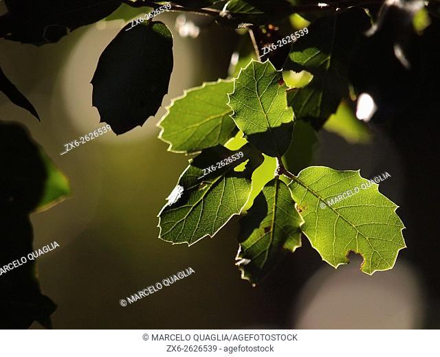Holm Oak (Quercus ilex) backlit leaves. Winter at Montseny Natural Park. Barcelona province, Catalonia, Spain