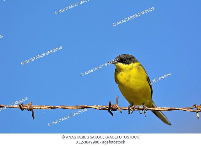 Yellow Wagtail - Motacilla flava, Crete
