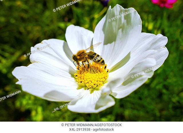 Western honey bee (Apis mellifera) at Mexican aster (Cosmea bipinnata) in a flowering meadow, Bavaria, Germany, Europe