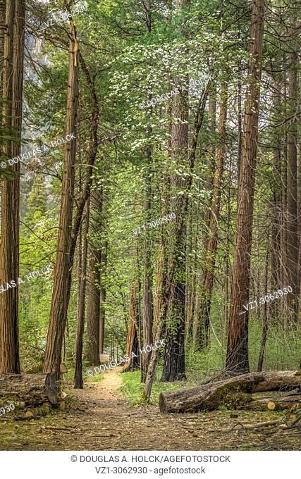 Yosemite Spring Trail and Dogwoods. Yosemite National Park, California, USA