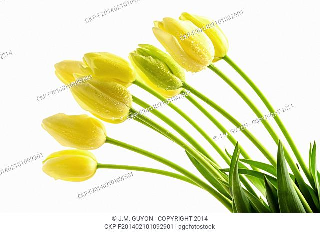 Yellow tulips flowers with long stalk on white background