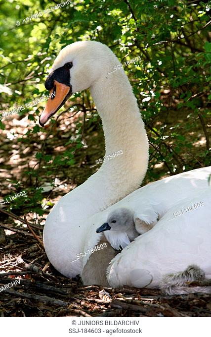 Mute Swan (Cygnus olor). Adult with cygnets on nest. Germany