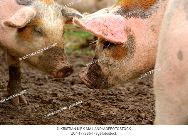 Pigs staring at eachother