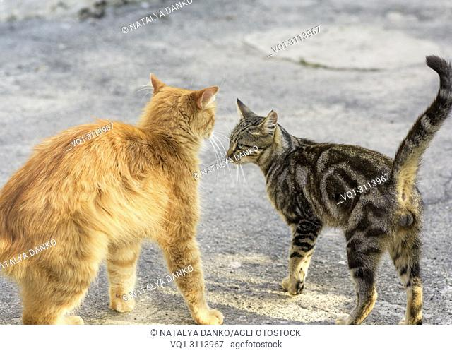 two young red and striped cat standing opposite each other on the street in the afternoon