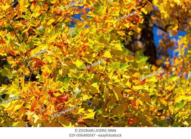 Autumn leafs close