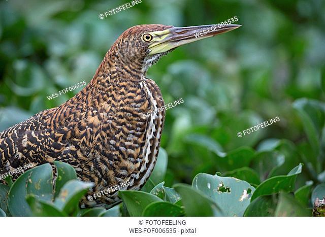 South America, Brasilia, Mato Grosso do Sul, Pantanal, Rufescent Tiger Heron, Tigrisoma lineatum, young animal
