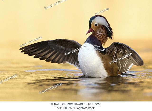 Mandarin Duck ( Aix galericulata ), pretty male, spreads, fluttering with its wings in bright golden light, invasive species, wildlife, Europe