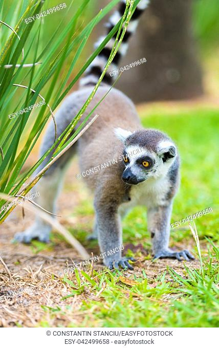 Portrait of Ring-tailed Lemur, native to Madagascar, with long, black and white ringed tail