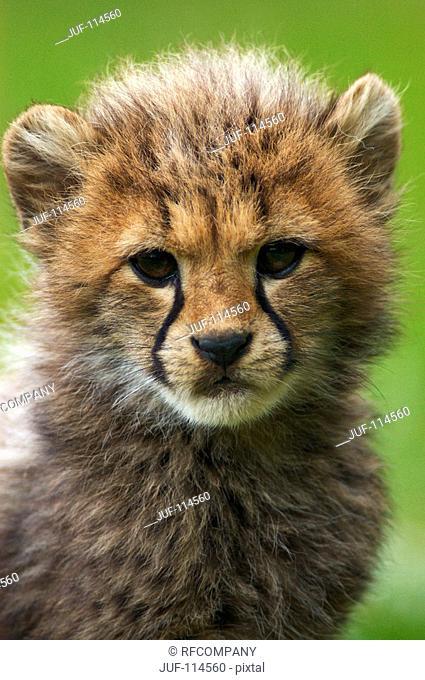 cheetah - cub - portrait / Acinonyx jubatus