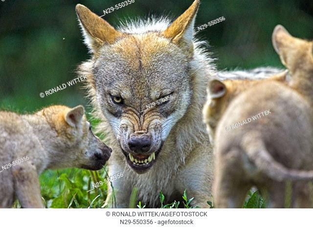 Wolf (Canis lupus), captive, cubs. Germany